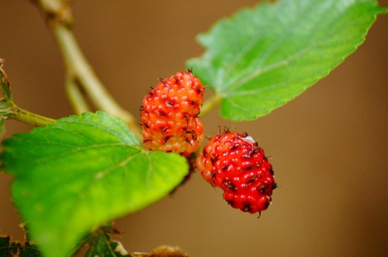 mulberries-201789_960_720